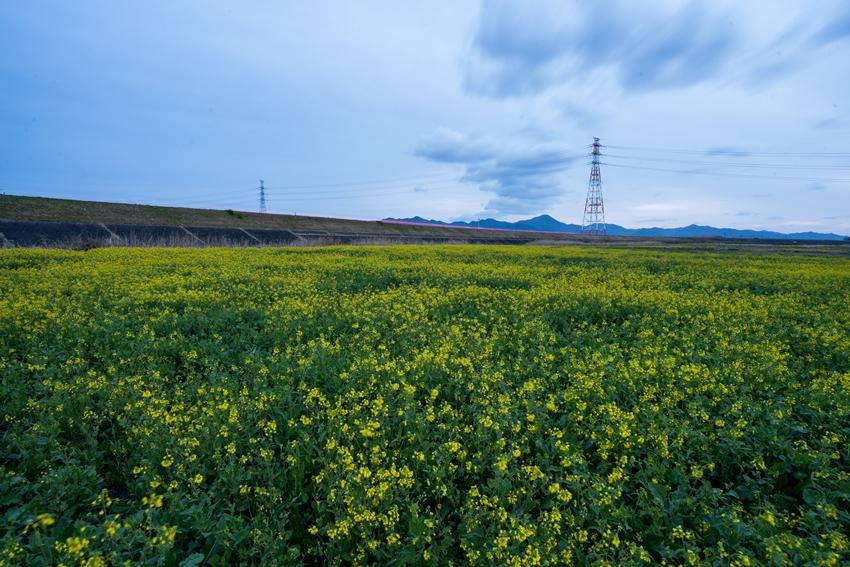 第十堰 菜の花畑